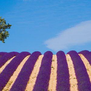 provence-lavender-fields
